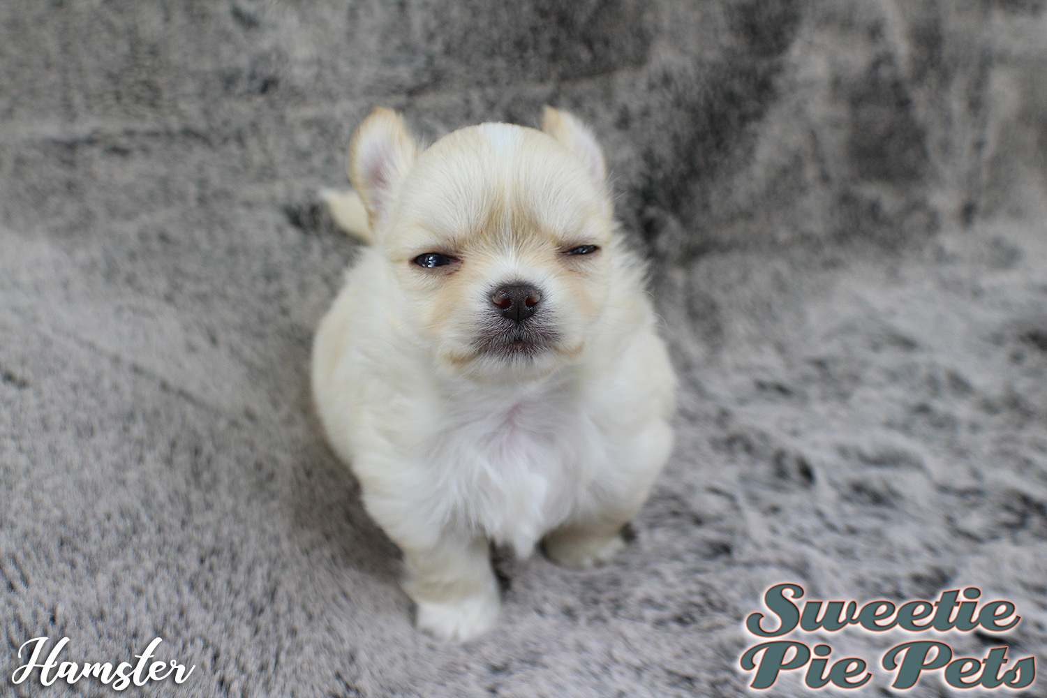 fluffy apple head Chihuahua puppy for sale