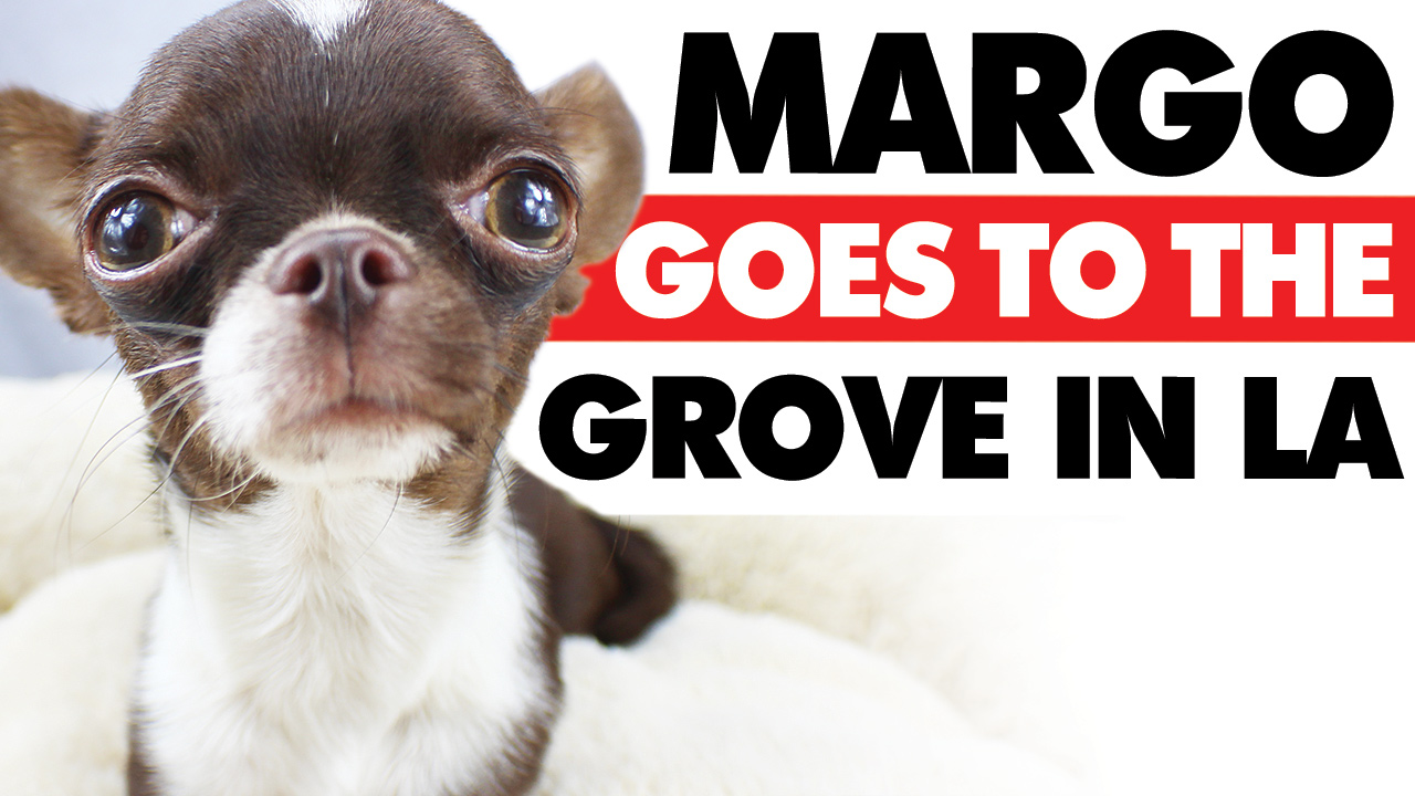 Margo the tiniest Chihuahua and Kelly Swift of Sweetie Pie Pets visit the Grove in Los Angeles