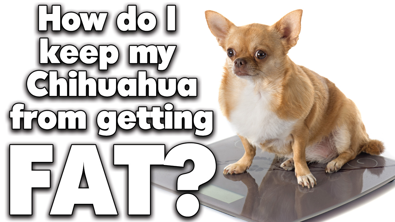 Chihuahua diet and exercise to avoid Chihuahua obesity