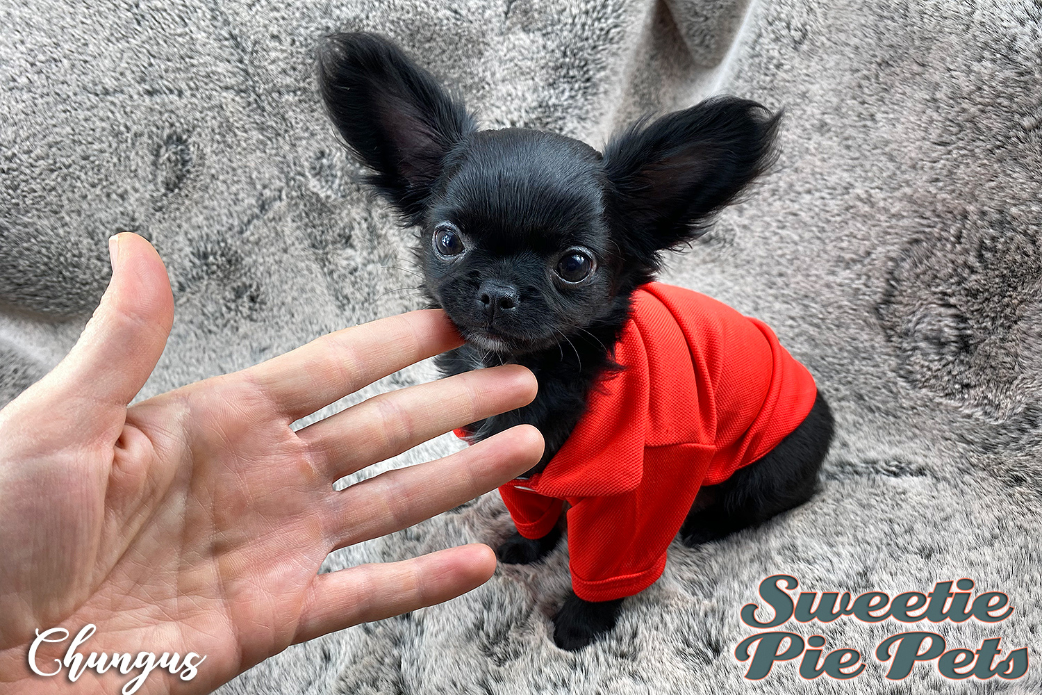 extreme apple head Chihuahua puppy for adoption California