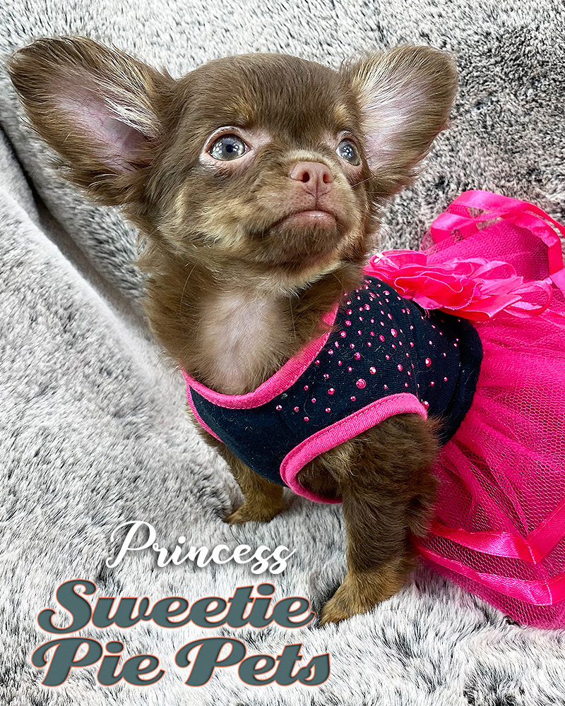 Apple head long coat female chocolate Chihuahua puppy for adoption