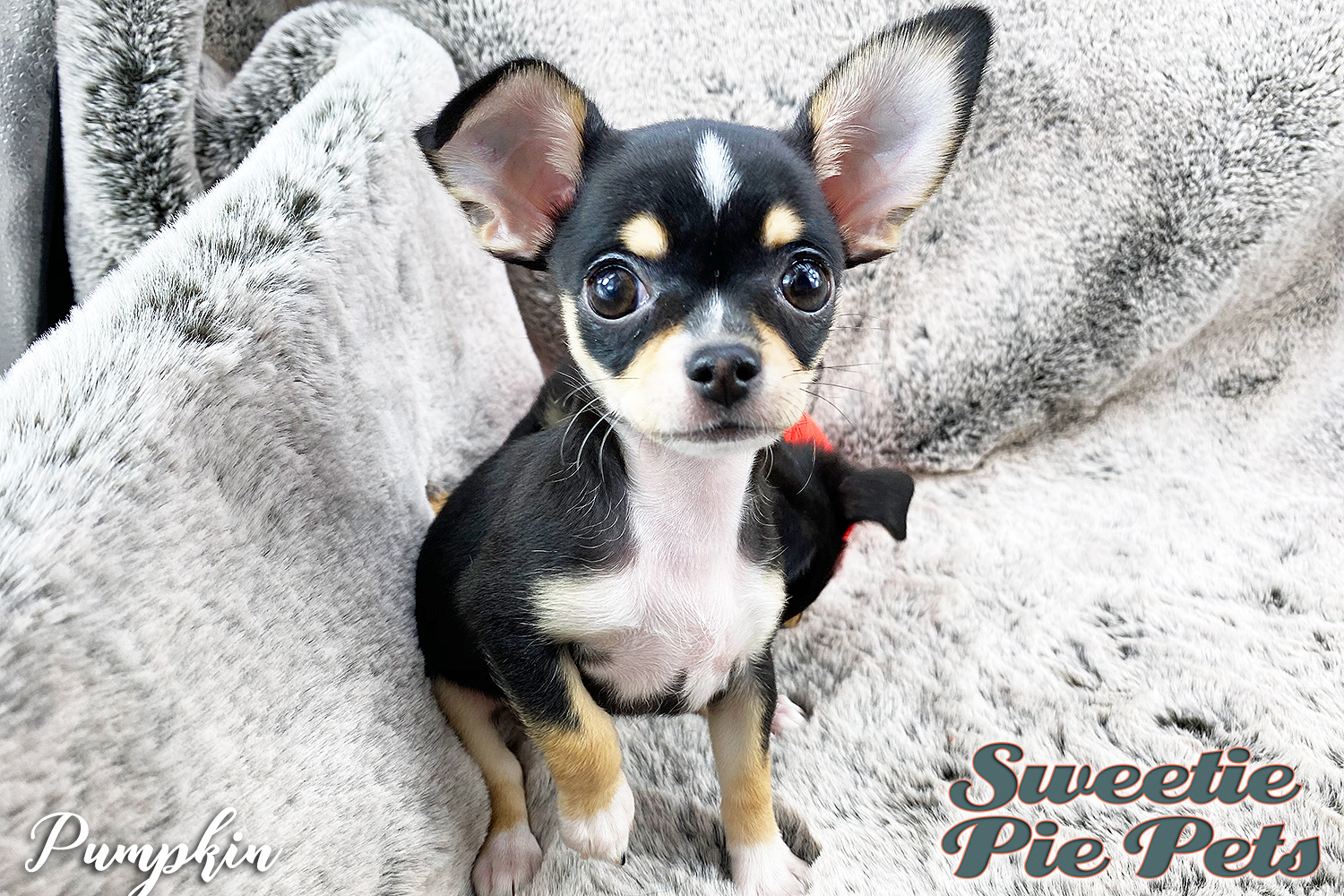 female apple head Chihuahua puppy for adoption near Los Angeles