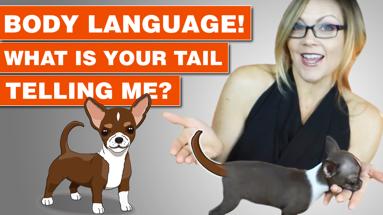Chihuahuas tail is used to communicate