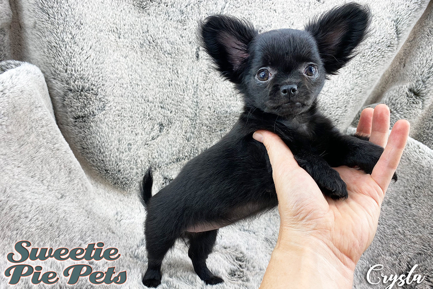 Babydoll face Chihuahua puppy for sale Los Angeles
