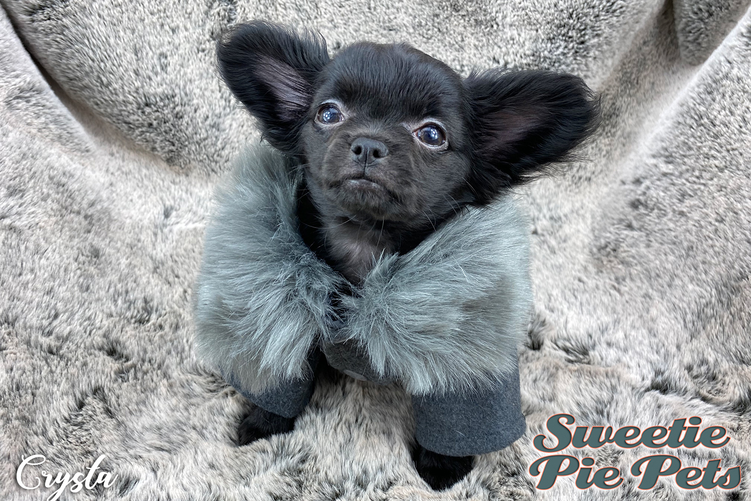 Babydoll face Chihuahua puppy for adoption California