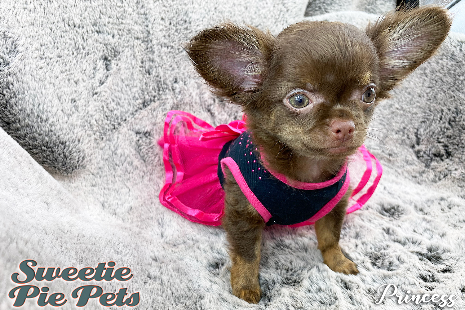 Apple head long coat female Chihuahua puppy for sale